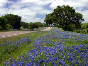 Texas-Bluebonnets-along-Highway16.jpg