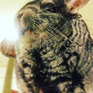 Toby the chinchilla