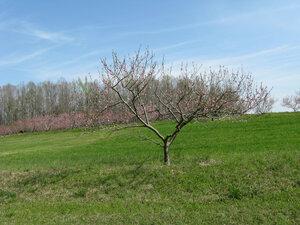 Peach Trees a  (7).jpg