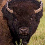Buffaloman